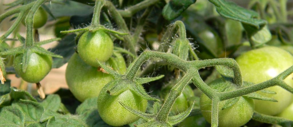 tomato-847392_1920